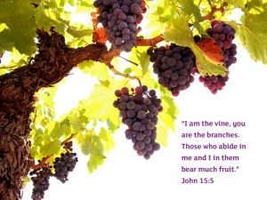 "Vine with grapes and Bible quote ""I am the vine, you are the branches. Those who abide in me and I in them bear much fruit."" John 15:5"